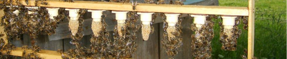 Weiselzellen der Bienenköniginnen